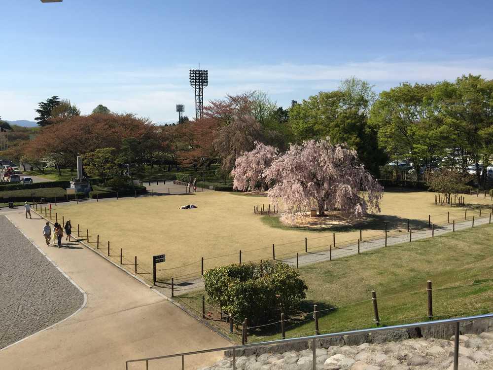 霞城公園の満開の枝垂れ桜画像
